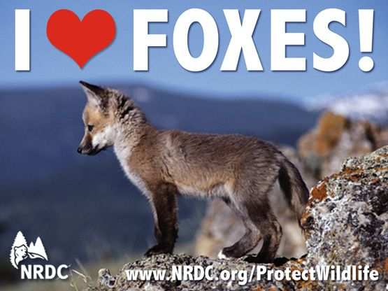 We LOVE foxes! Help protect them by signing our petition and making a donation to stop the tax payer funded killing! Visit www.nrdc.org/protectwildlife to learn more