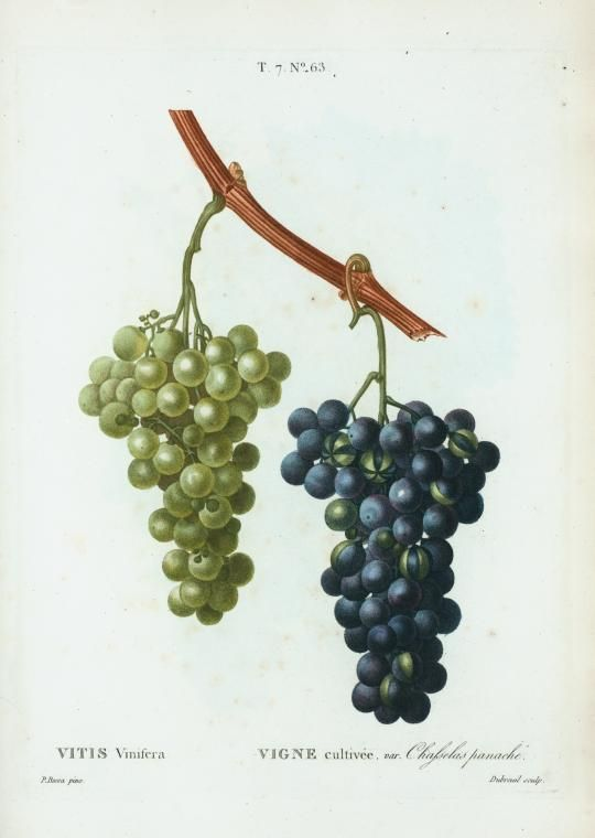 Vitis Vinifera Vigne Cultivee Var Chasselas Panache From New York Public Library Digital Collections Green Grapes Antique Wallpaper Grapes