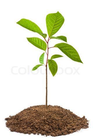 Stock Image Of Green Sapling Of Bird Cherry Tree Saplings Plant Leaves Cherry Tree