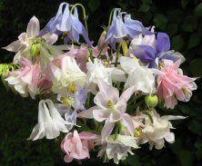 Storbritannia, Touchwood Seed List, uvanlige, sjeldne og Cottage Hage frø. Aquilegia spesialist