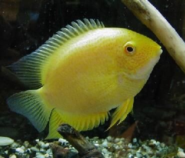Gold Severum For Sale At Lfs I Think It S A Convict Fish Fresh Water Fish Tank Cichlids