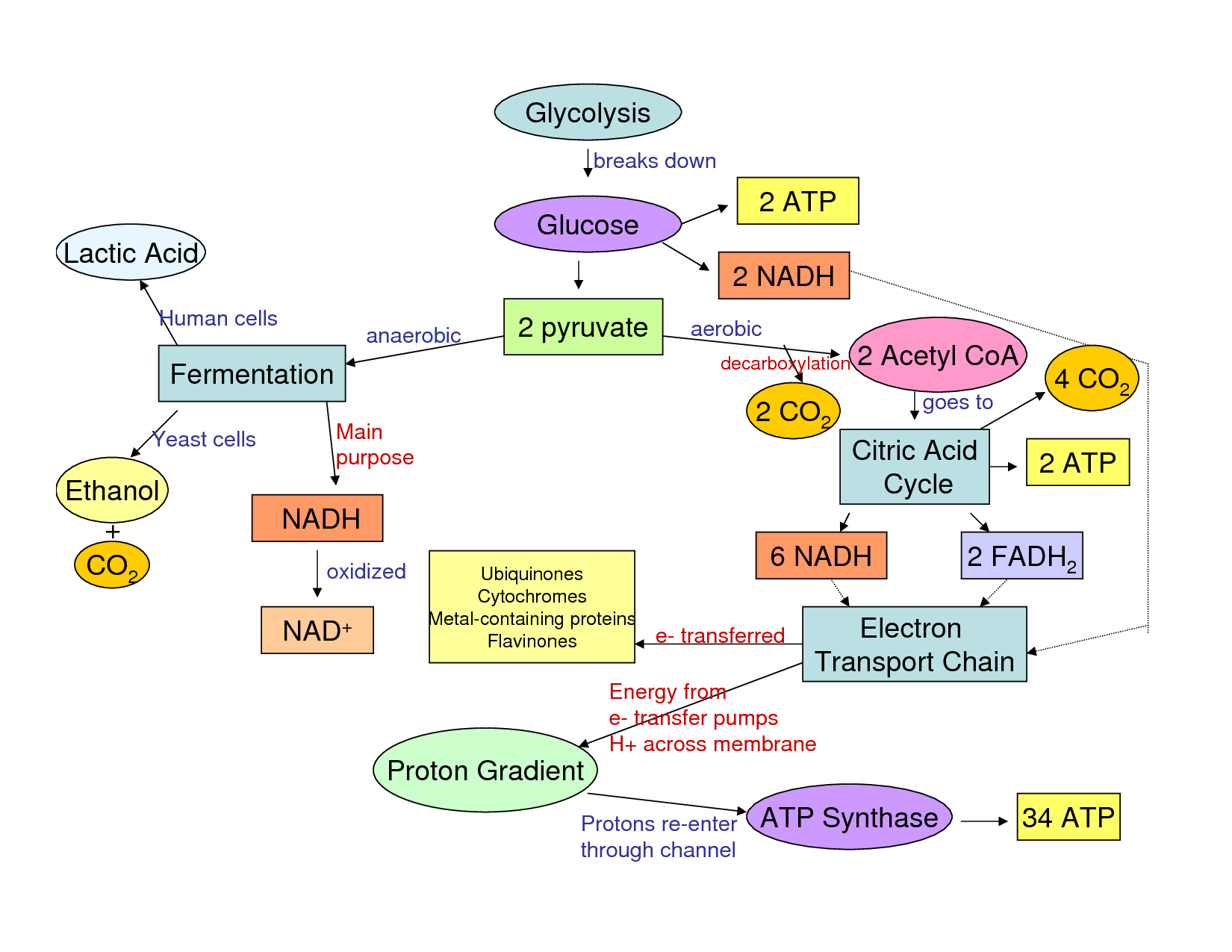 cellular respiration glycolysis and flow chart | the stuff of life
