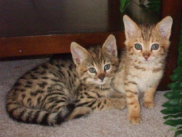 Bengal Cat For Sale Price Savannah