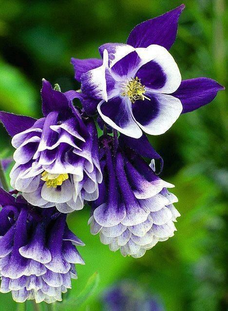 Aquilegias flowers