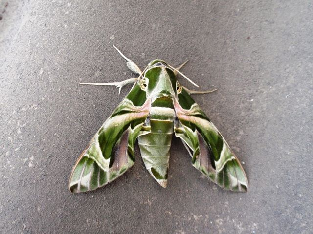indian's moth