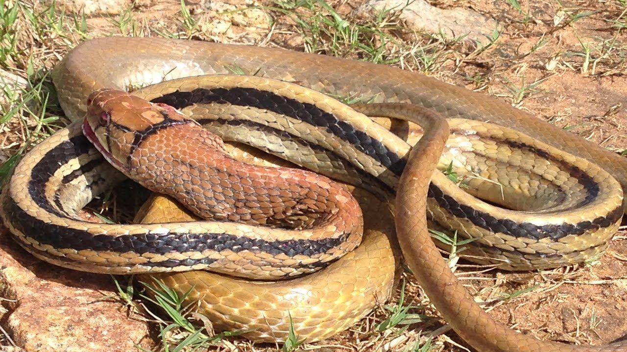 Amazing man attack big snake in khmercatching biggest
