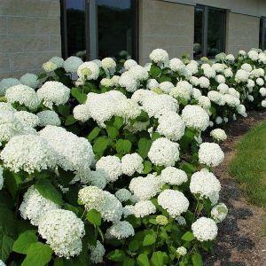 Annabelle Hydrangea #schnellwachsendepflanzen