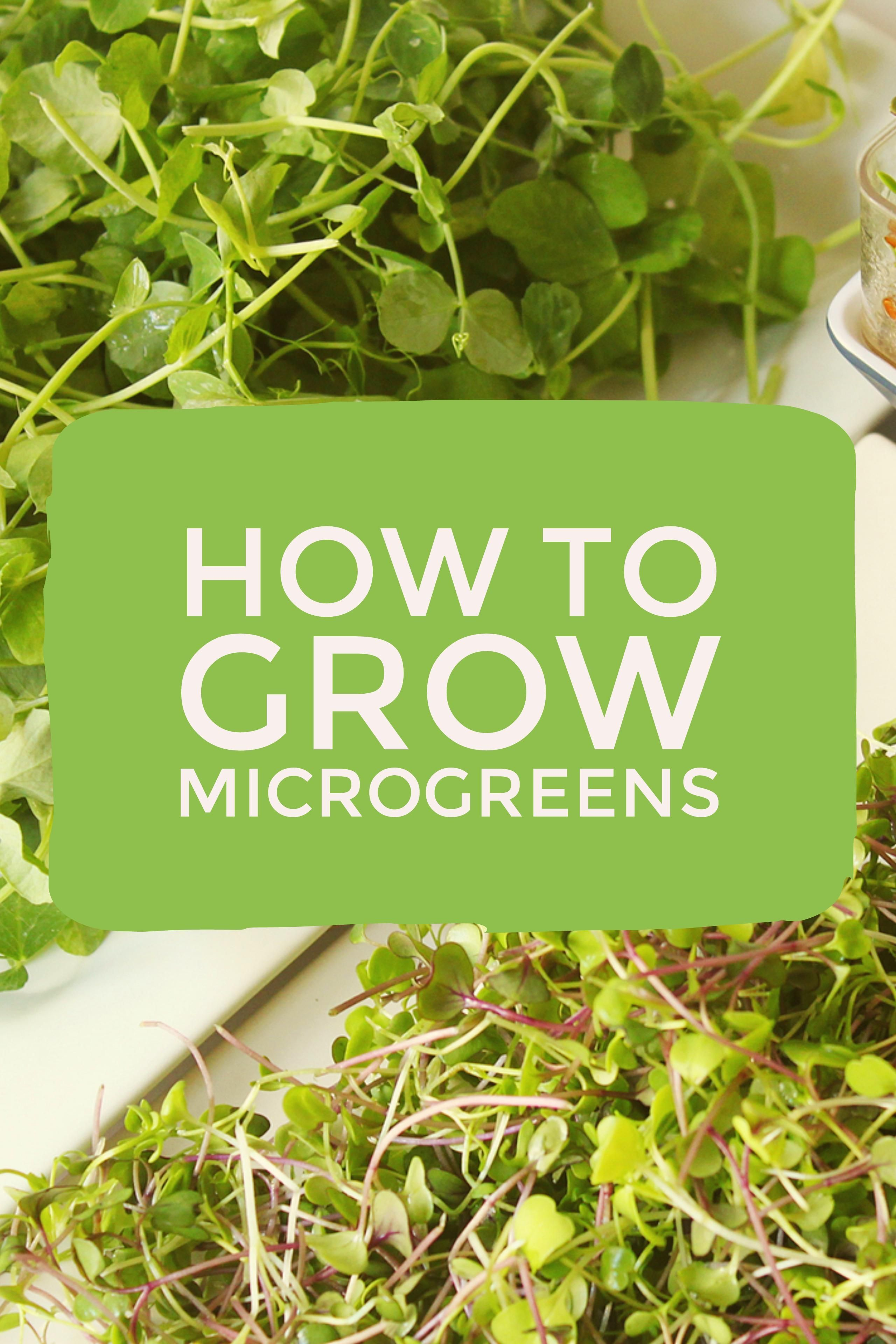 Learn how to grow microgreens microgreens are easy to grow these learn how to grow microgreens microgreens are easy to grow these indoor vegetables grow quickly indoors making them great for winter gardening workwithnaturefo