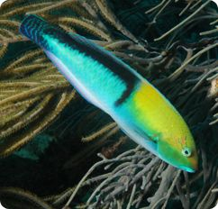 Yellow Head Wrasse Neon Wrasse Halichoeres Garnoti Saltwater Fish Tanks Sea Fish Salt Water Fish
