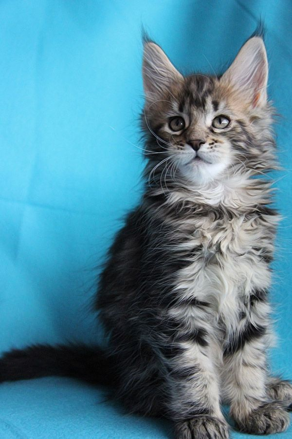 Coonforest Maine Coons 動物
