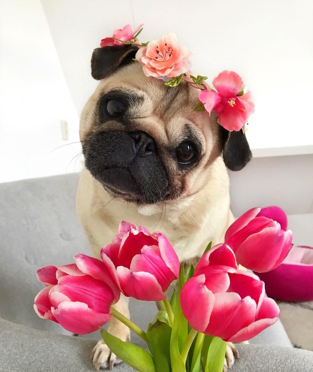 Pin By Wendy Cabb On I Love Cats And Dogs Cute Pugs Cute Dogs