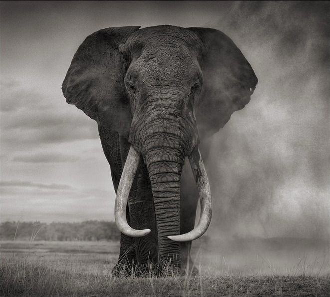 Portrait of elephant in dust amboseli end of summer sale from a unique collection of black and white photography at