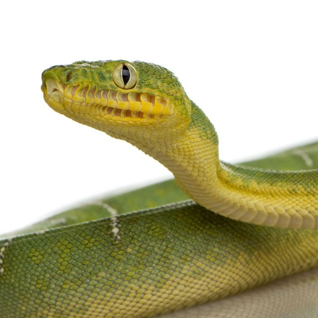 Heat Sensing Pits Emerald Tree Boa Animals Weird Animals