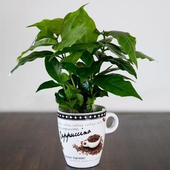 Arabica Coffee Plant Fast Growing Trees Coffee Plant Plants