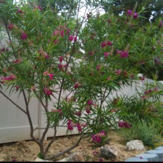 Desert Willow Love This Flowering Tree And So Do Hummingbirds And