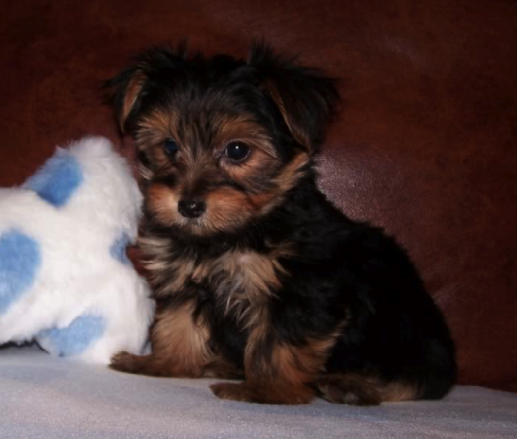I Would So Love To Have A Morkie Puppy Including A Black Lab To