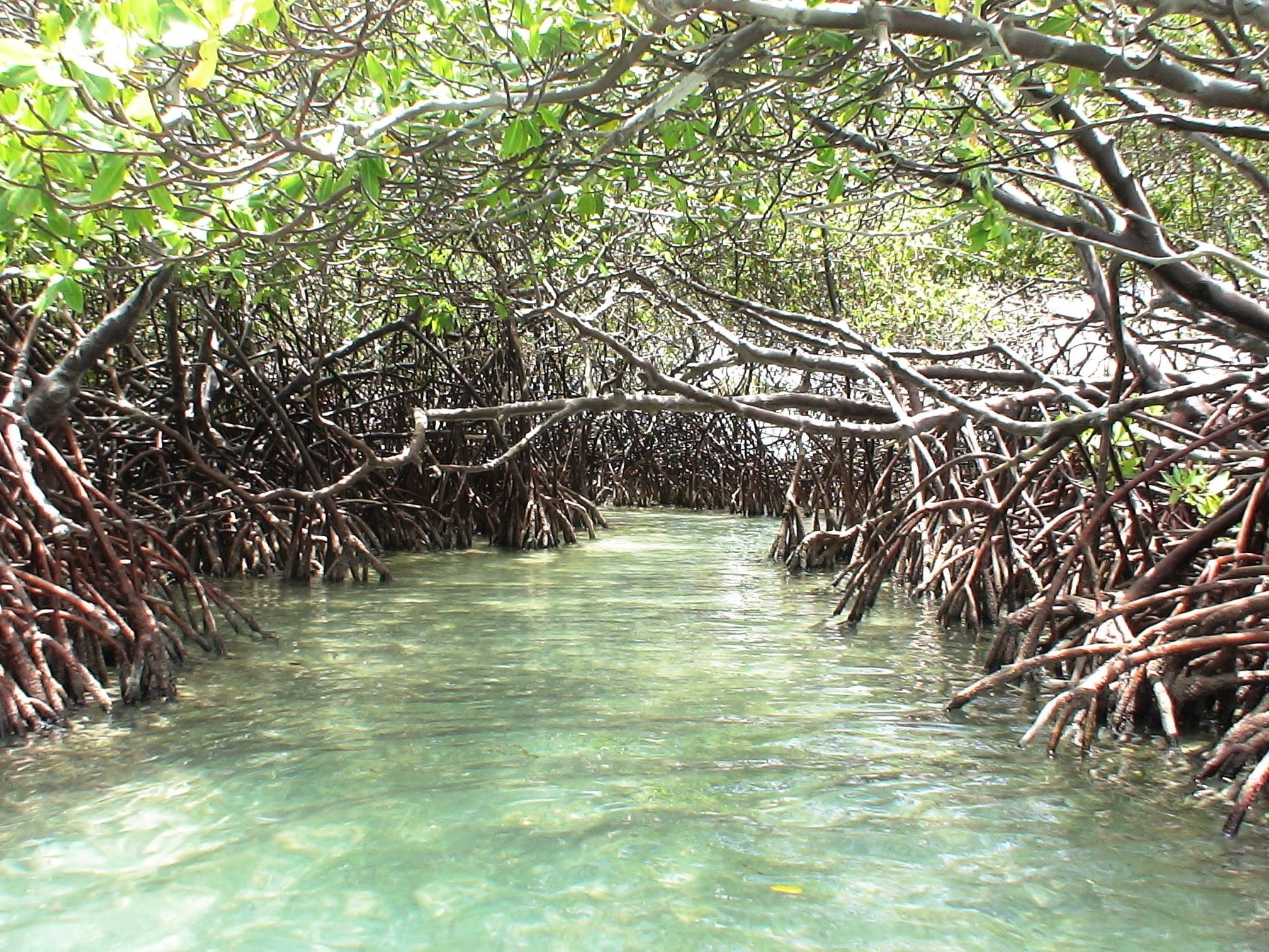 Mangroves in La Parguera, Puerto Rico (one of my favorite ...