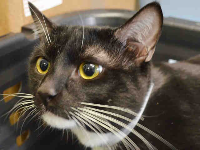 """VERSAILLES - A1042009 - - Manhattan  ***TO BE DESTROYED 07/16/15*** PURRING TUXIE KITTEN LOVEBUG, DUMPED FOR """"ALLERGIES"""", HAS A NEAR-PERFECT BEHAVIOR RATING, BUT WILL DIE BECAUSE HE SNEEZED – PLEASE GRANT VERSAILLES A DEATH ROW PARDON!!! Handsome tuxie kitten VERSAILLES, just 13 months old, was sadly surrendered to the kill-happy ACC for """"ALLERGIES"""", This sweet black and white boy with those luxurious white whiskers and perfect facial markings"""