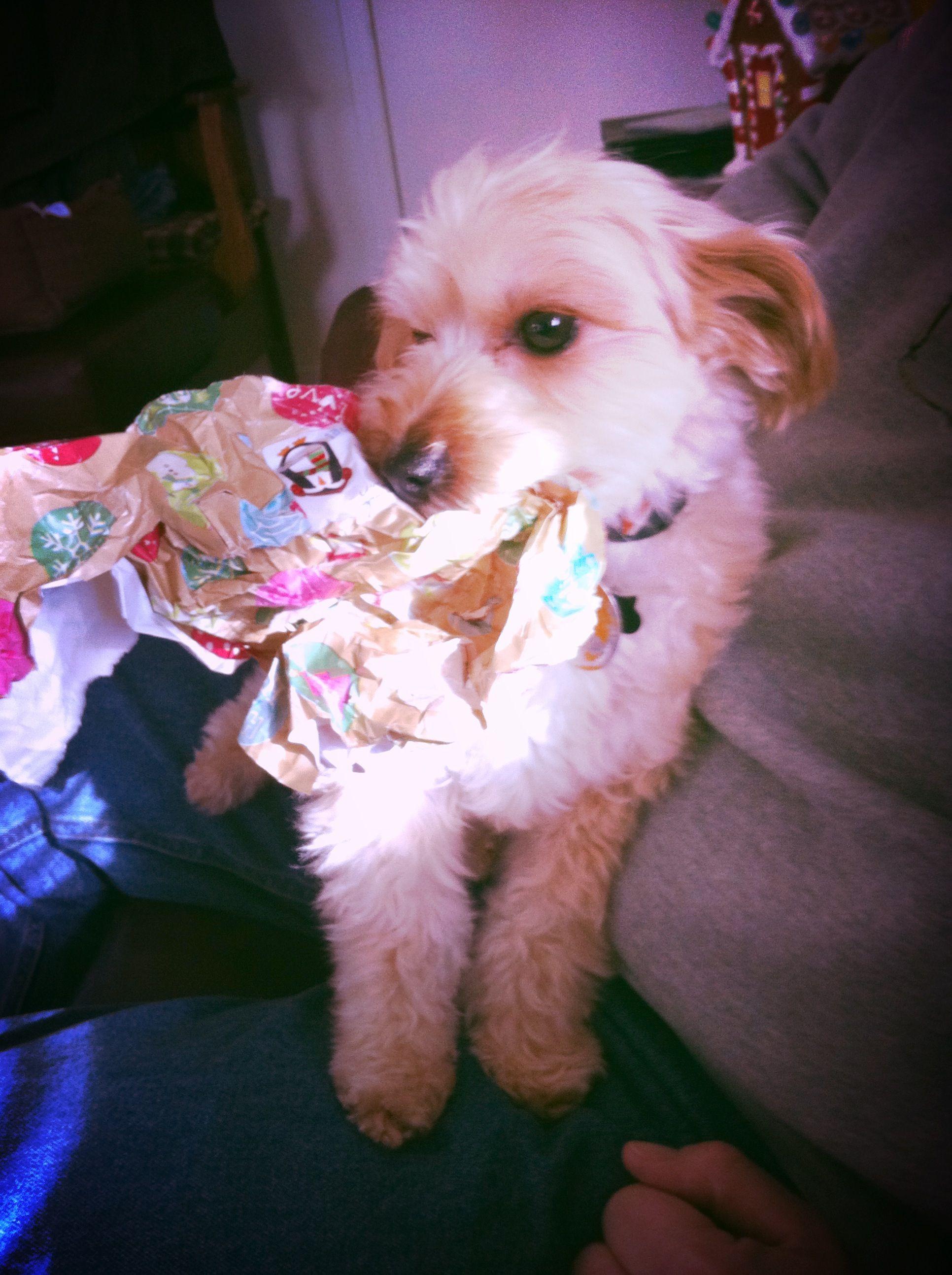 Christmas pup Marley. yorkiepoo dogs cute Pup, Yorkie