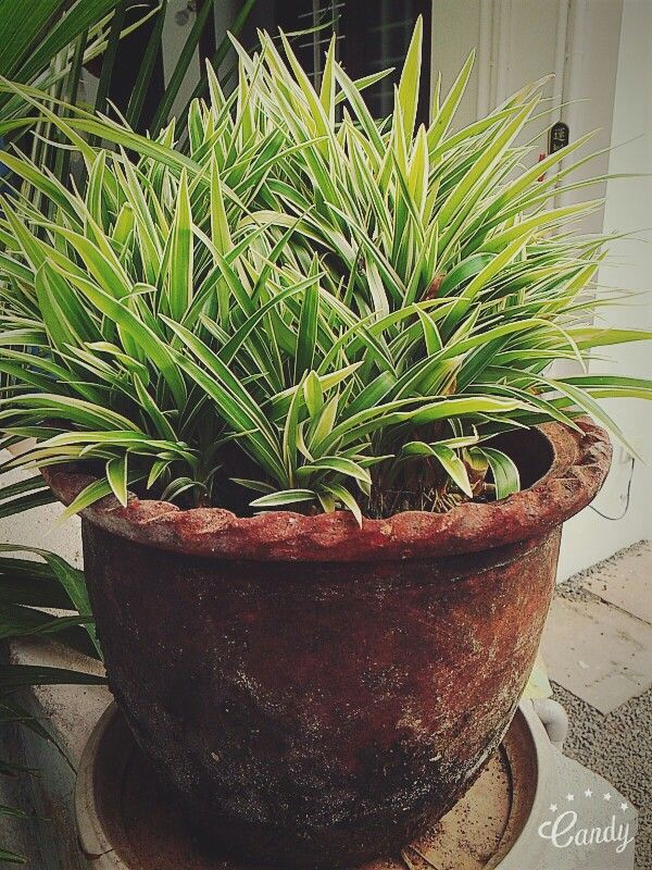 Indoor plants to style your home. Kerala India Indoor
