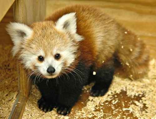 Red Panda cub born June 6th, 2012 at the Oklahoma City Zoo. She is the 11th cub born there. She was her mom Jaya's first and her dad Yoda's 9th.They named her KayDee after some NBA player Kevin Durant.