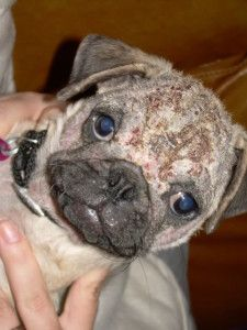 The Top 3 Most Common Types Of Pug Skin Conditions Pug