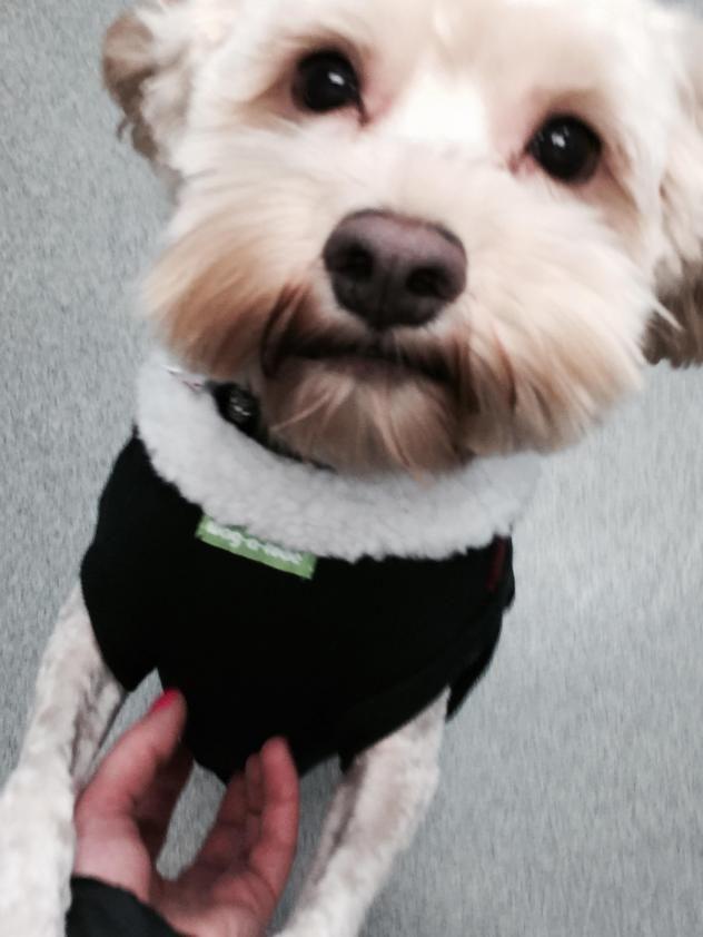 Adopt Mocha Adoption Pending On Petfinder Poodle Mix Dogs Cocker Spaniel Poodle Mix Cocker Spaniel Poodle