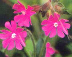 """Silene dioica """"Red campion"""""""