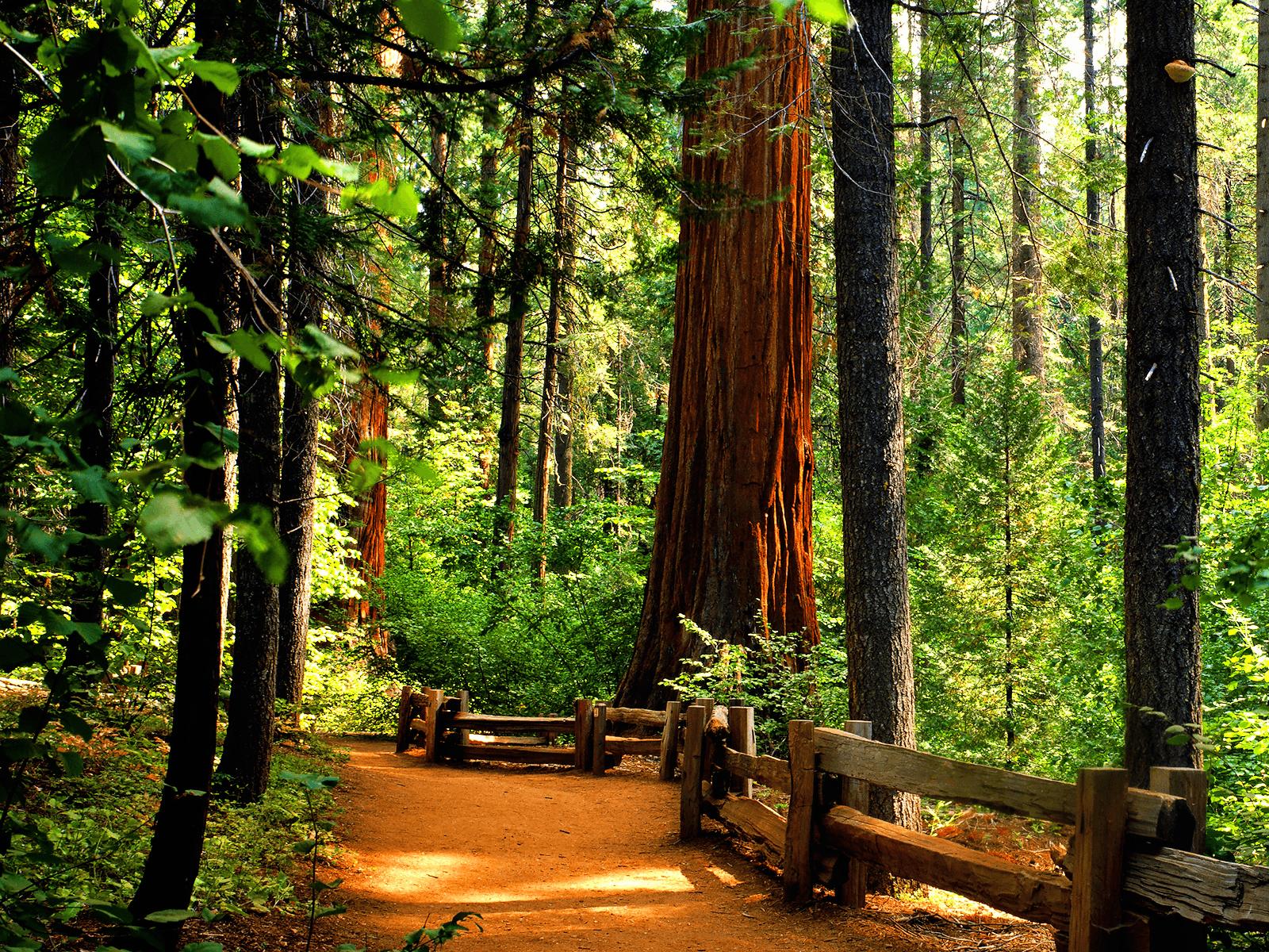 1600x1200 Redwoods Backgrounds And Wallpapers Wallpapersafari Giant Sequoia Trees Sequoia Tree Redwood Tree