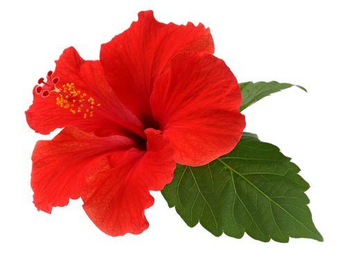 Fleur d\'hibiscus : ses propriétés et vertus médicinales | Permaculture
