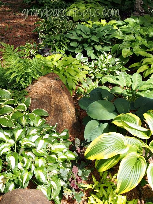Fall Hint For Dividing Hostas In Spring Gardening And Fruit Trees