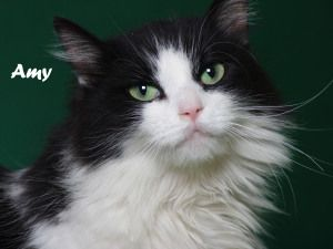 Amy Is An Adoptable Domestic Long Hair Black And White Cat In Indianapolis In Amy Is A Beautiful Long Haired Kitty With Lovely Green Eyes Pets Cats White Cat