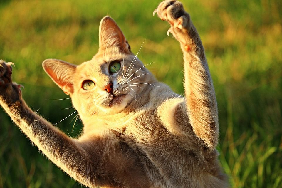 How much does it cost to declaw a cat cat declawing