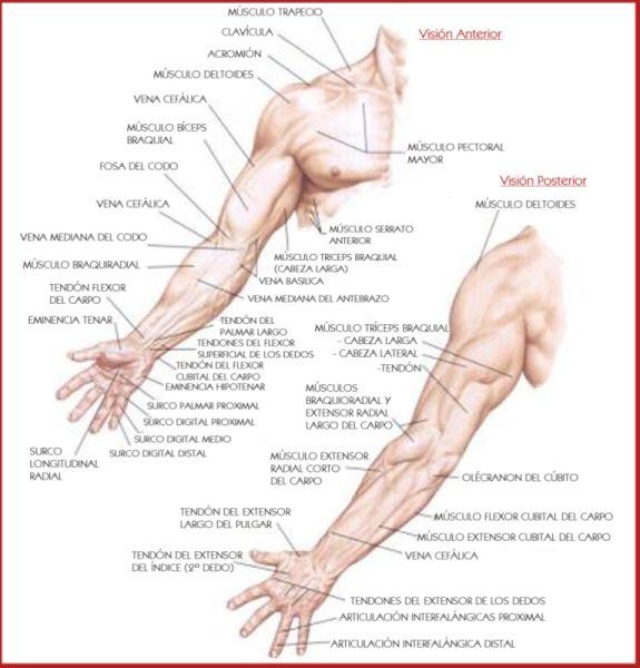 Anatomía de superficie del brazo -02.jpg (575×600) | Body ...