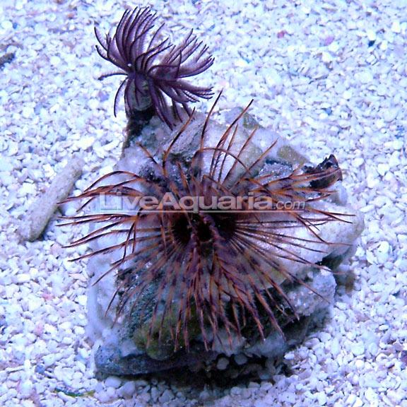 Saltwater Aquarium Invertebrates For Marine Reef Aquariums Hawaiian Feather Duster Fan Worms Fish Pet Reef Aquarium Saltwater Aquarium