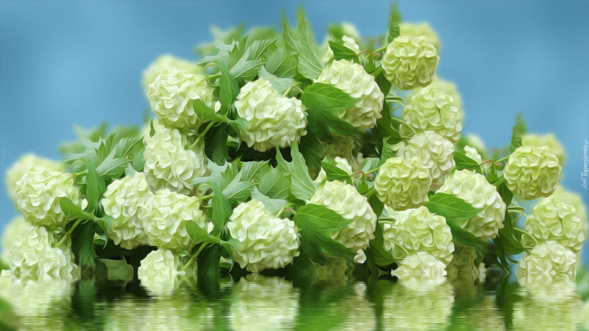 Kwiaty Biale Kalina Koralowa Grafika Kwiaty Grafika Hortensja