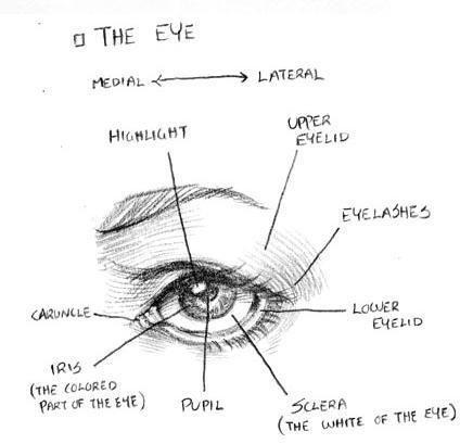 Eye W Labeled Parts Drawing Eyes Pinterest Realistic Eye Eye