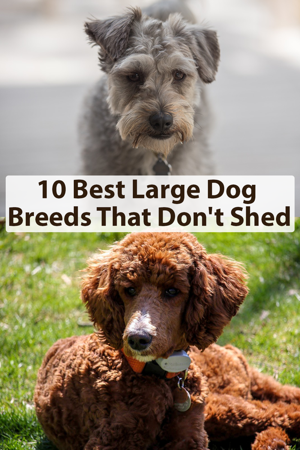 10 Best Large Dog Breeds That Don T Shed Best Large Dog Breeds Large Dog Breeds Dog Breeds That Dont Shed