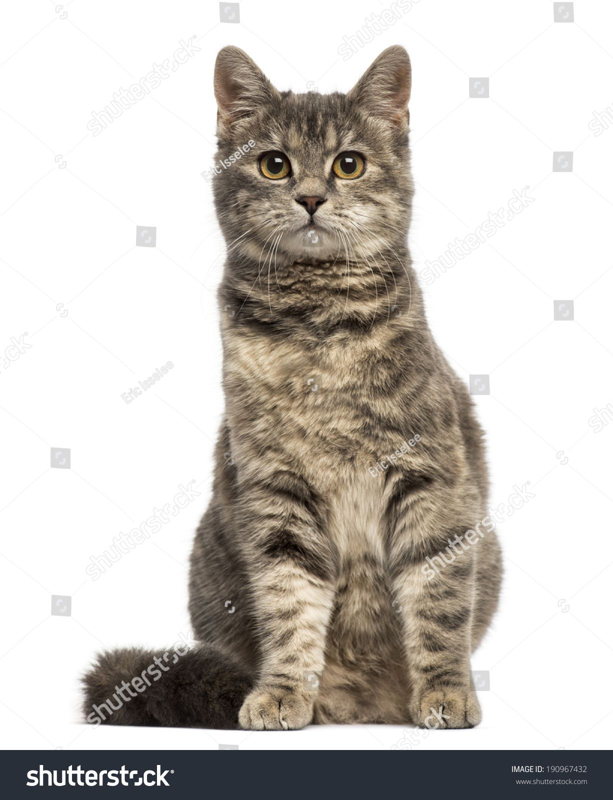European Shorthair 6 Months Old Sitting In 2020 Cats Animals Cat Health