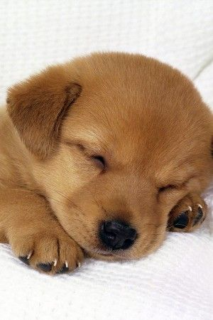 Sleeping Puppy Iphone Wallpaper Iphone Wallpapers Baby Animals Pictures Puppies Sleeping Puppies