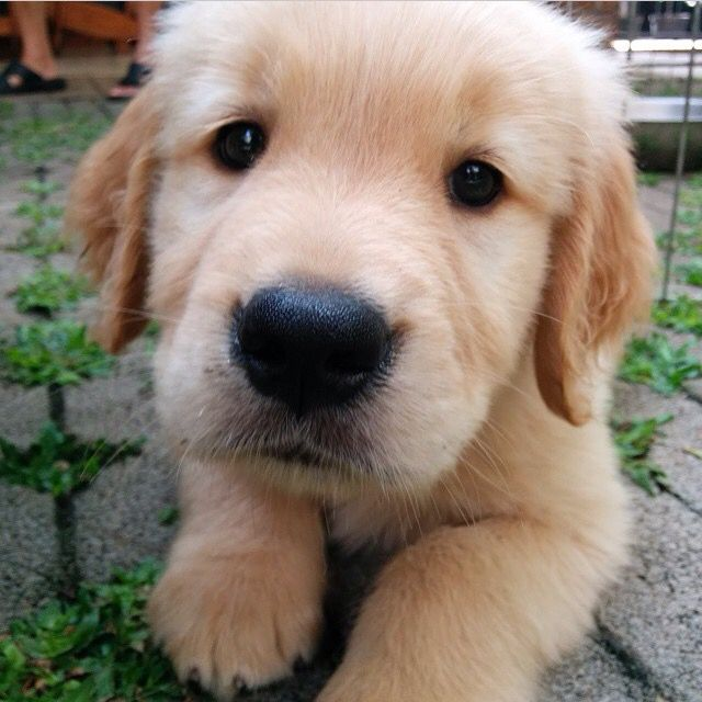 That Face Dogs Golden Retriever Dog Heaven Cute Dogs