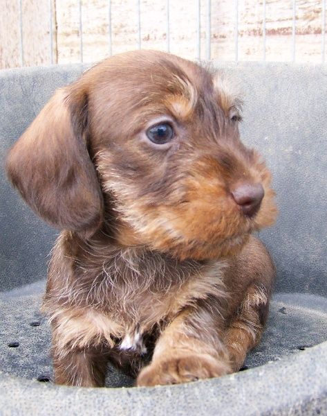 Pelo Duro Wire Haired Doxie Could I Possibly Be Any Cuter