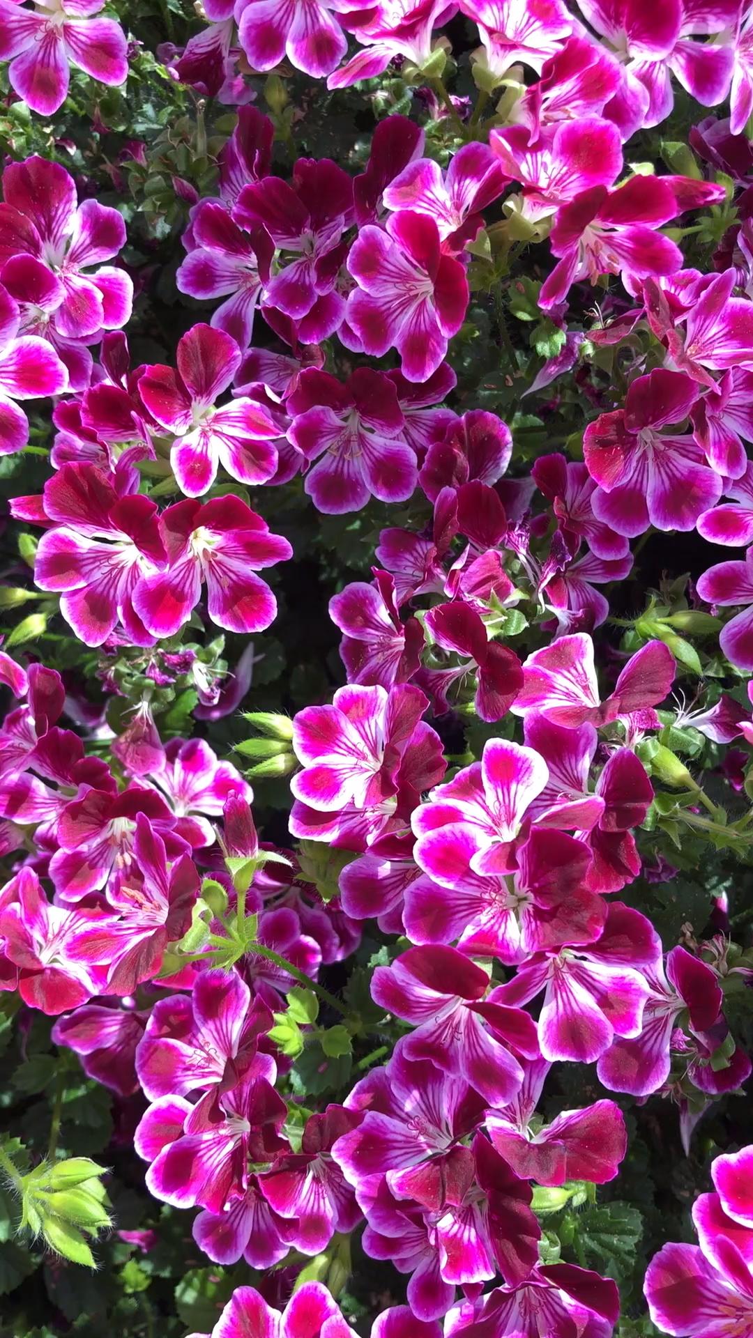 Hier findest du eine große Auswahl von Volmary Geranien für deinen Garten!