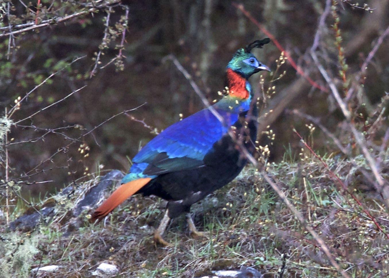 Himalayan Monal Lophophorus impejanus - Google Search ...