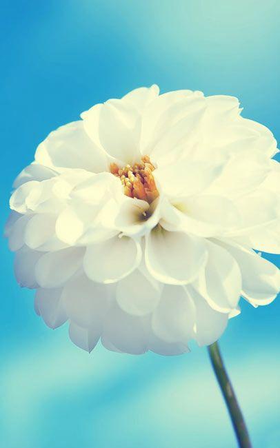 Flower Wallpapers White Flower On Blue Sky Desktop Hd Wallpaper Download In High Resolution White Flower Wallpaper Cool Iphone Wallpapers Hd Flower Wallpaper