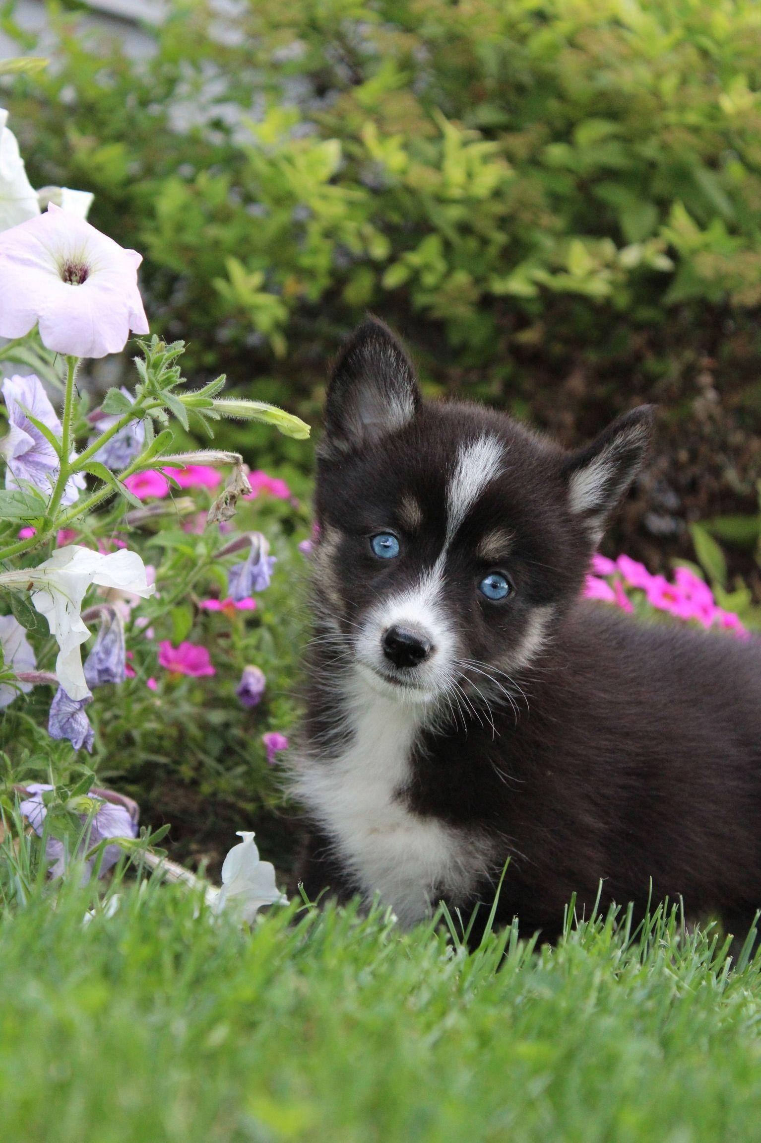 12 Cute Pomsky Dog Breed Ideas In 2020 Pomsky Puppies For Sale Pomsky Puppies Puppies For Sale
