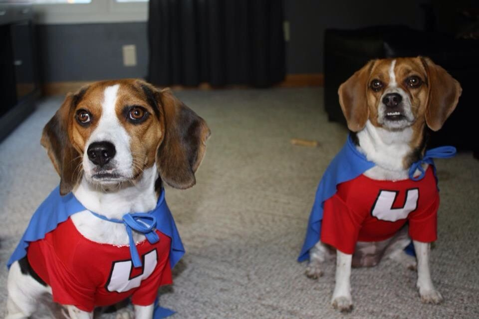 Beagles In Their Underdog Costumes Dog Halloween Costumes
