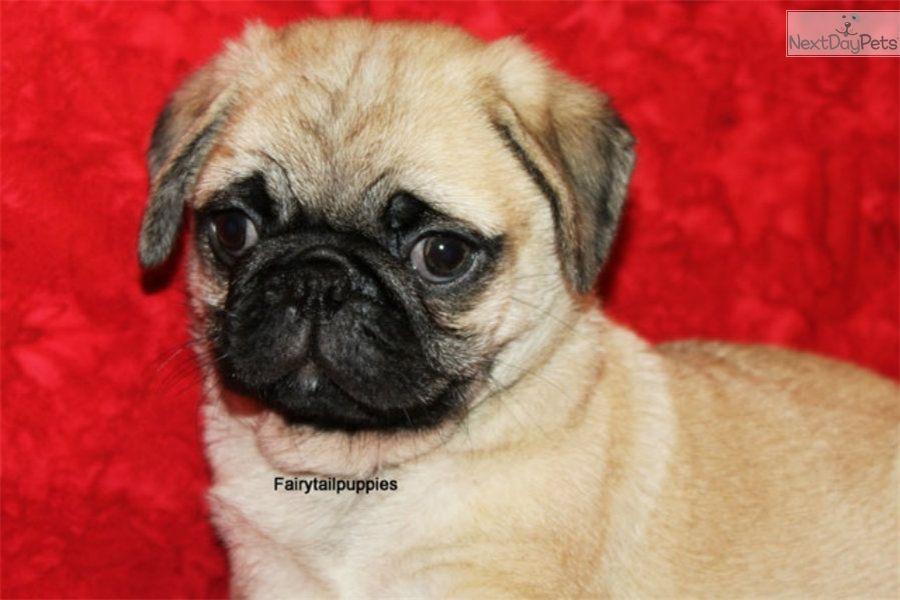 Pug Puppy For Sale Near Mcallen Edinburg Texas A54b9cd8 1721