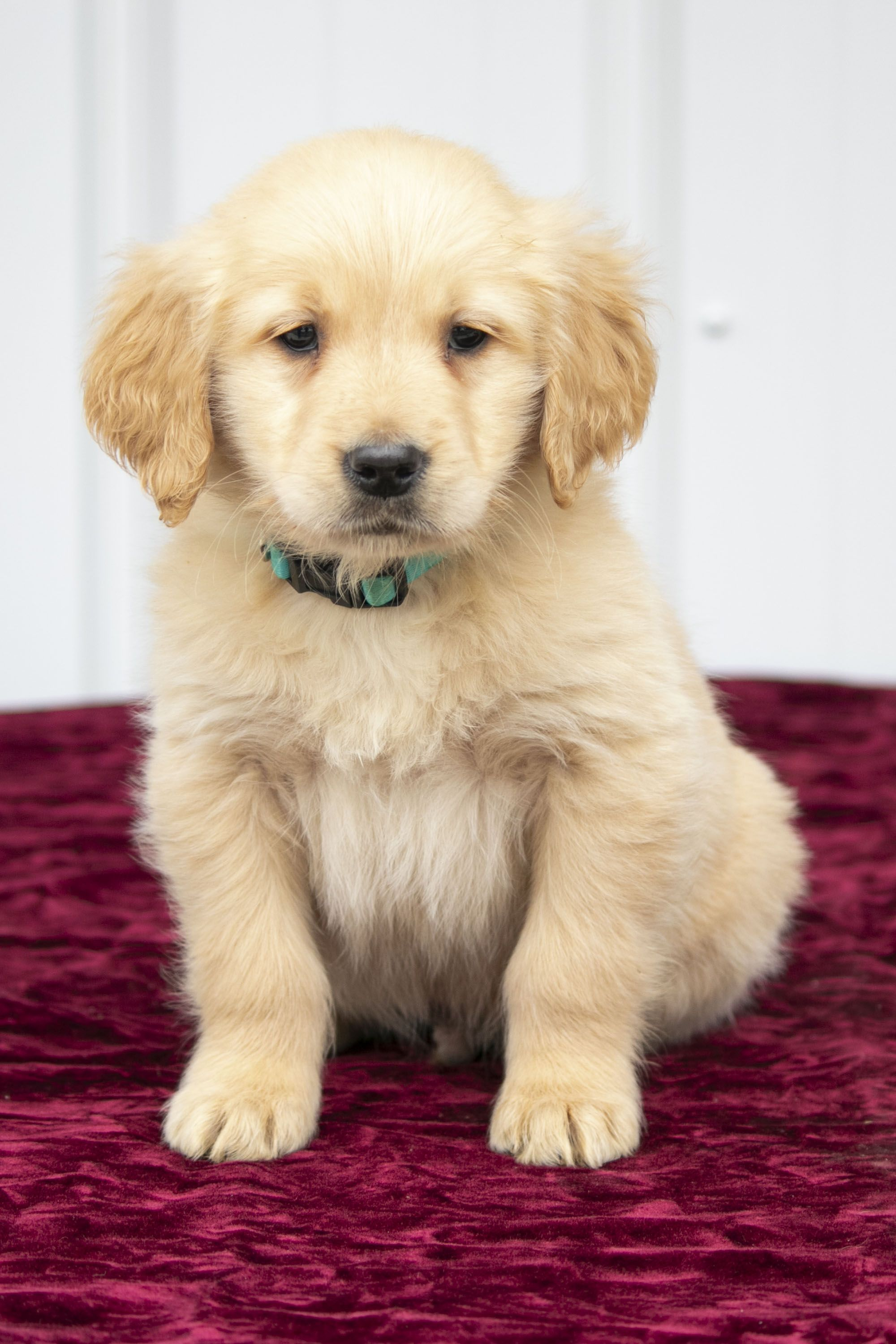 Pin By Brooke On Dog Retriever Puppy Puppies Lancaster Puppies