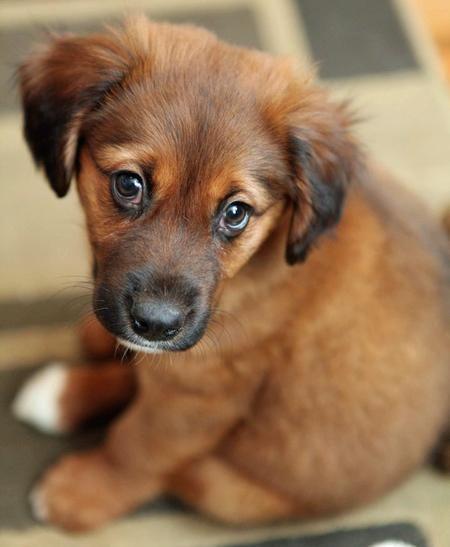 Rhodesian Ridgeback German Shepherd Mix Puppy : rhodesian, ridgeback, german, shepherd, puppy, Shepherd, Puppy, Names,, Puppies,, Pictures